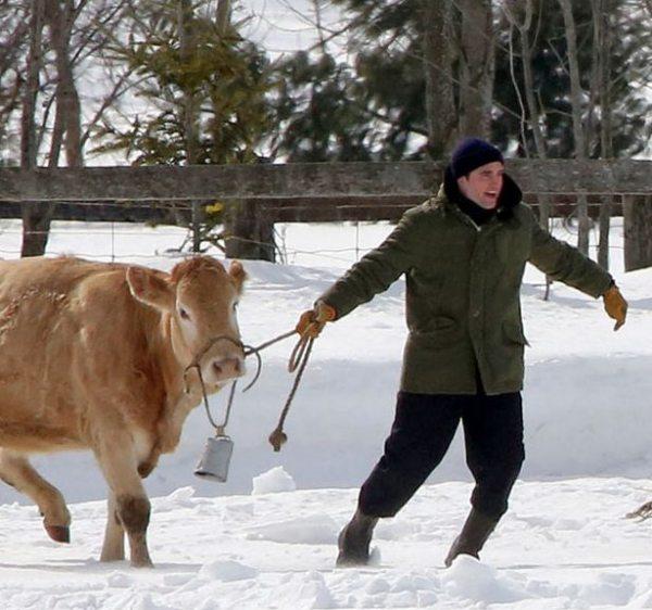 Роберт Паттинсон снимается с коровами