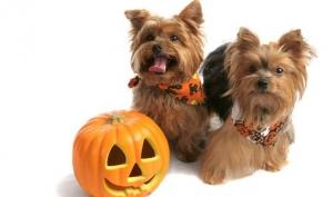 Одежда для собак на Хэллоуин 2012