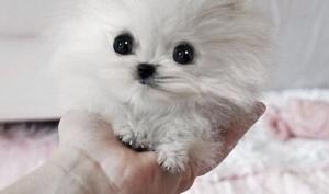 Пэрис Хилтон купила собаку за 13 тысяч долларов